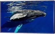 Humpback whale calf, Silver Bank, Domincan Republic Fine-Art Print