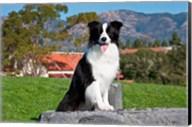 A Border Collie dog sitting Fine-Art Print