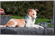 A Border Collie puppy dog lying Fine-Art Print