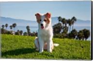 A Border Collie puppy dog in a field Fine-Art Print