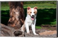 A Border Collie puppy dog  by a tree Fine-Art Print