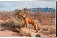 American Pitt Bull Terrier dog, New Mexico Fine-Art Print