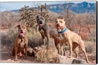 Three Pitt Bull Terrier dog, New Mexico Fine-Art Print