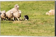 Purebred Border Collie dog and sheep Fine-Art Print