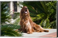An Irish Setter dog surrounded by cycads Fine-Art Print