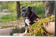 Staffordshire Bull Terrier dog in a garden Fine-Art Print