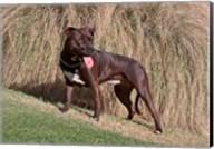 An American Pitt Bull Terrier dog Fine-Art Print