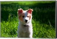 Border Collie puppy dog in a field Fine-Art Print