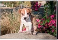 An American Pitt Bull Terrier puppy dog Fine-Art Print