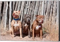 American Pitt Bull Terrier dogs, NM Fine-Art Print