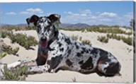 A Great Dane lying in the sand in Ventura, California Fine-Art Print