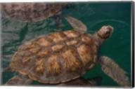 Turtle Farm, Green Sea Turtle, Grand Cayman, Cayman Islands, British West Indies Fine-Art Print