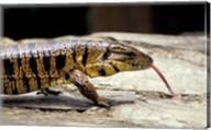 Golden Tegu Lizard, Asa Wright Wildlife Sanctuary, Trinidad, Caribbean Fine-Art Print