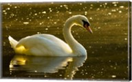 Mute swan, Stanley Park, British Columbia Fine-Art Print