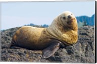 Steller sea lion, Haida Gwaii, British Columbia Fine-Art Print