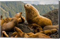 Steller sea lion, Queen Charlottes, British Columbia Fine-Art Print