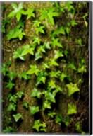 Red cedar English ivy, Stanley Park, British Columbia Fine-Art Print