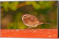 British Columbia, Song Sparrow bird, bridge raining Fine-Art Print