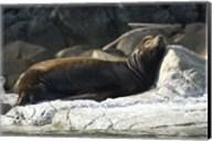 Sea Lions, Batley Island, Pacific Rim, British Columbia Fine-Art Print