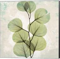 Eucalyptus Aged Stone Fine-Art Print