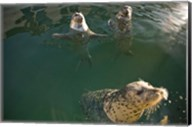 British Columbia, Victoria, Harbor Seals, Oak Bay Fine-Art Print