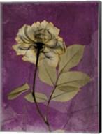 Rose 4 Fine-Art Print