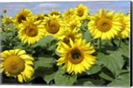 Sunflower 21 Fine-Art Print
