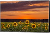 Sunset over Sunflowers Fine-Art Print