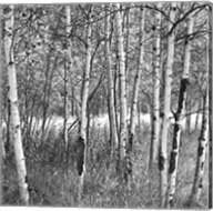Birch Forest Fine-Art Print