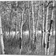 Birch Forest Fine-Art Print