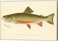 Male Brook Trout Fine-Art Print