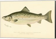 Male Land Locked Salmon Fine-Art Print