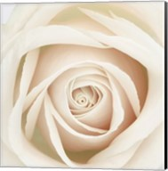 Dawn Rose Fine-Art Print