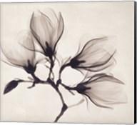 Whisper Magnolia Fine-Art Print