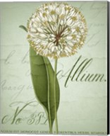 Allium II Fine-Art Print