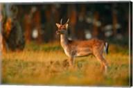 UK, Forest of Dean, Fallow Deer Fine-Art Print