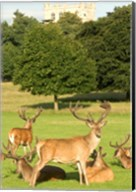 English red deer stags, Nottingham, England Fine-Art Print