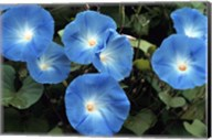 Morning Glory Fine-Art Print