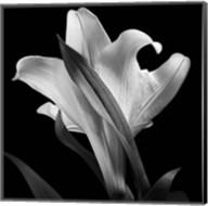 Lily 2 Fine-Art Print