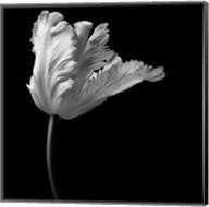 Parrot Tulip Fine-Art Print