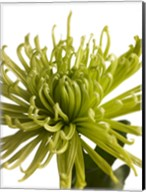 Green Chrysanthemum 1 Fine-Art Print