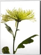 Green Chrysanthemum 2 Fine-Art Print