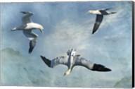 Gannets Trio Fine-Art Print