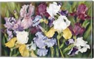 Multi Colored Field Of Iris Fine-Art Print