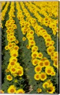 Sunflowers, Provence, France Fine-Art Print
