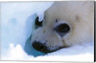 Seal Pup on Gulf of St. Lawrence Fine-Art Print