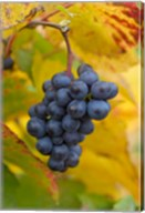 Beaujolais Red Grapes in Autumn Fine-Art Print
