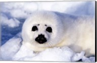 Harp Seal Pup at Gulf of St Lawrence Fine-Art Print