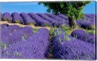 Lavender Tree, France Fine-Art Print
