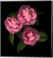 Camellia 8 Fine-Art Print